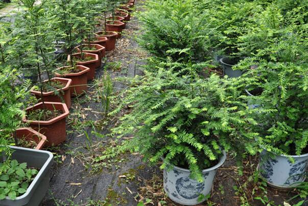 红豆杉叶子发黄原因 红豆杉叶子干枯怎么办