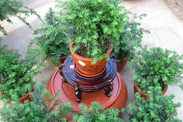 红豆杉盆景养殖方法 红豆杉盆栽养殖的注意事项