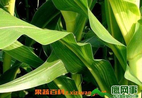 玉米叶的营养价值及功效与作用